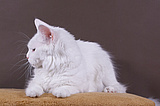 Maine Coon White Snow Ewjatar*PL